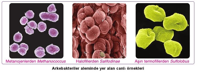 arke bakteriler