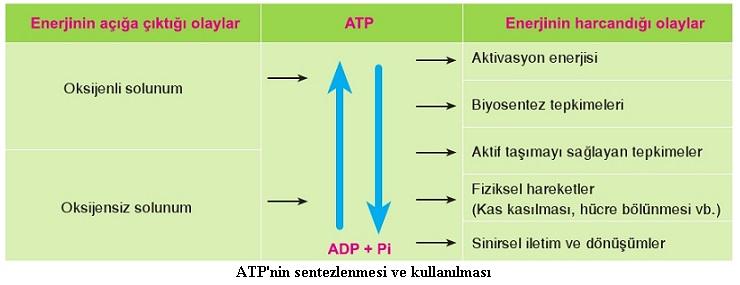 atp'nin sentezi ve kullanılması