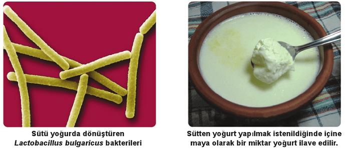 süt bakterisi